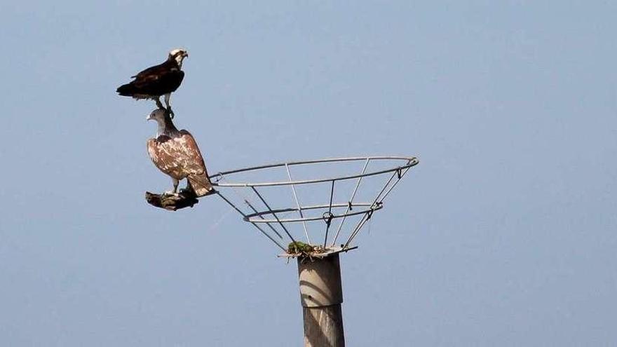 """Un águila pescadora """"veranea"""" en la ría de Villaviciosa"""