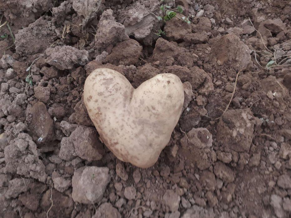 Curiosa patata amb forma de cor.