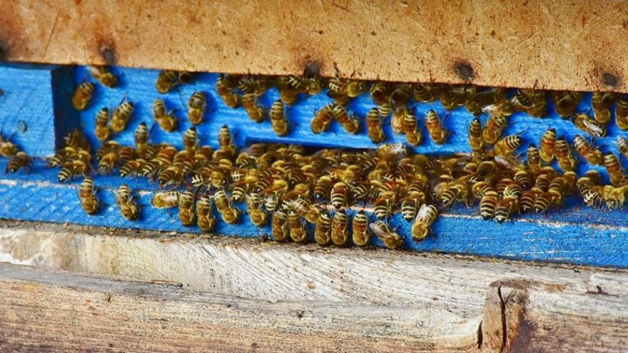 Quieren crear un 'macroapiario' de abejas autóctonas  en Formentera