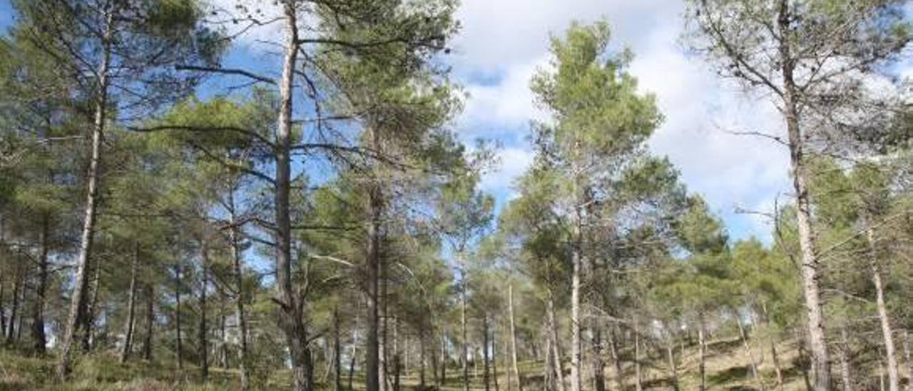 Enguera ingresará 60.000 euros al año al adjudicar su biomasa a una empresa