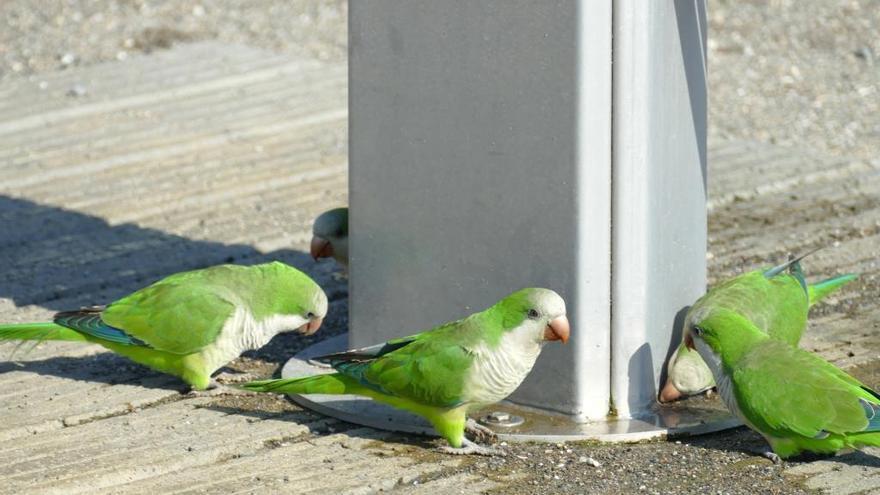 Cotorra argentina, cridòria verda i blava