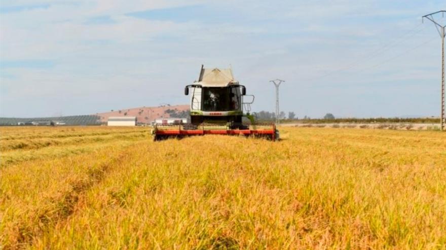 La falta de calor frena al arroz