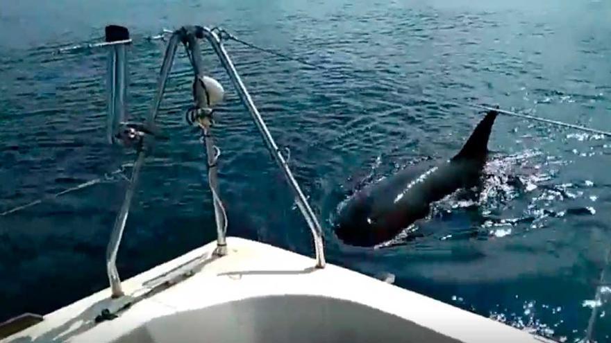 Las visitas más extrañas a las costas gallegas en 2020: de ballenas azules a ataques de orcas