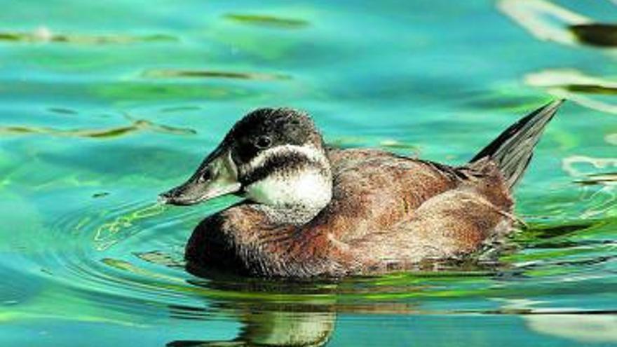 Tres pollets de la malvesia amenaçada d'extinció creixen en l'Ocenaogràfic