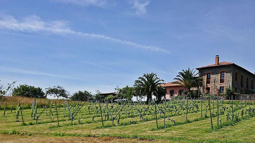 El cultivo de la vid regresa a Villaviciosa diez siglos después de su desembarco