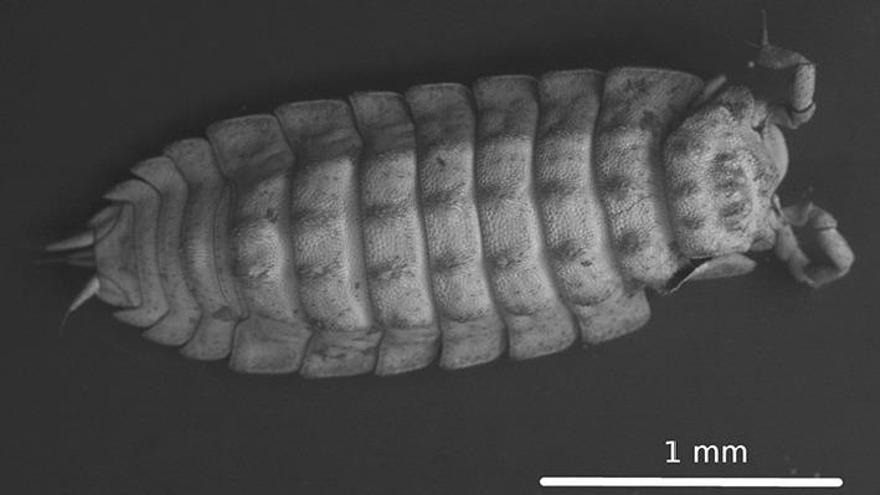 Descubren una nueva especie de cochinilla en la Sima de la Curva de Antequera