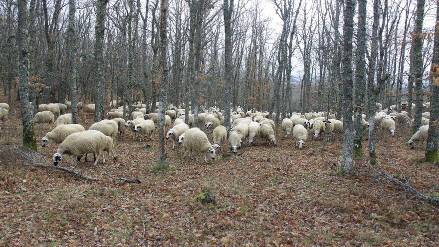 Lonja de Zamora: una semana más el ovino en blanco