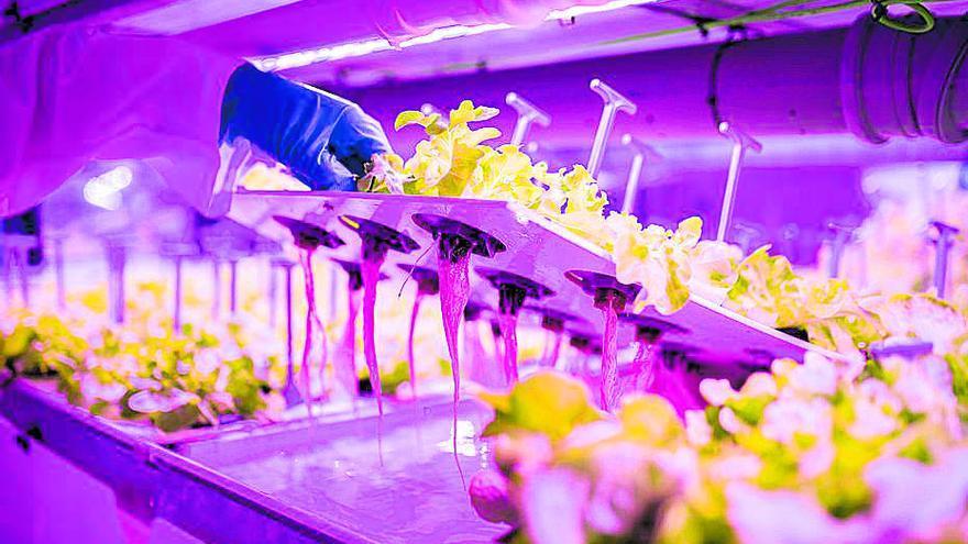 Agromediterránea lanzará al mercado lechugas vivas y sin tratamientos fitosanitarios