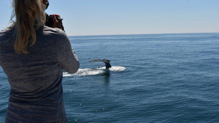La comunidad científica, maravillada con la ruta migratoria de las ballenas azules gallegas