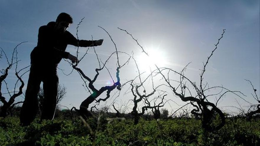 Feuerbakterium: Mallorca befürchtet nun auch den Befall der Weinstöcke