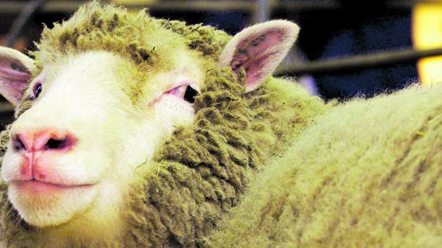 Las  lecciones  de la oveja Dolly