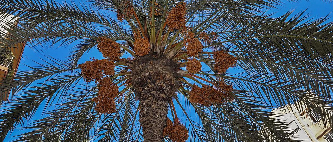 Una de las palmeras podadas la semana pasada en la calle Pedro Juan Perpiñán, de Elche.  