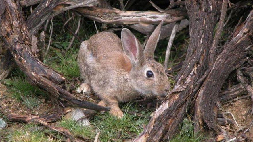 El peso del cristalino indica la edad del conejo