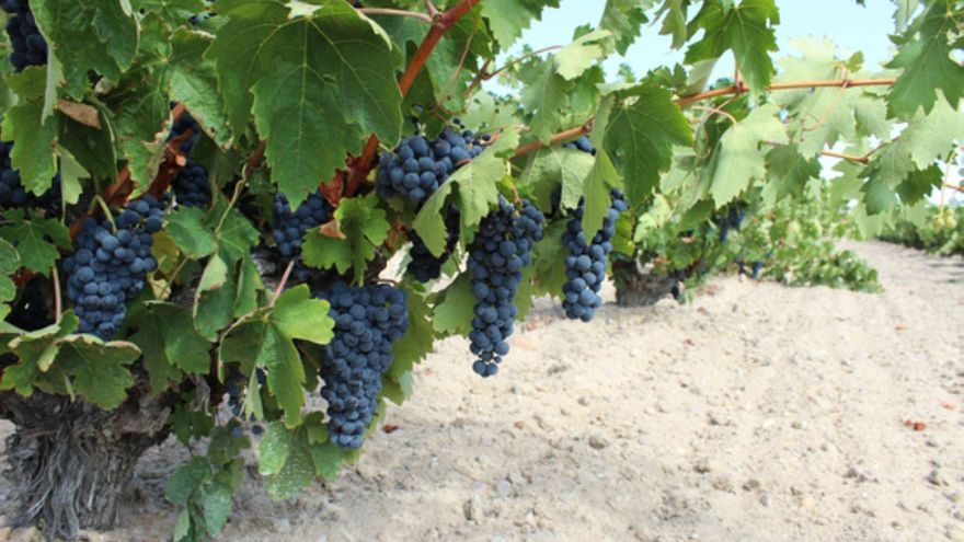 Mucha uva por recoger en el viñedo