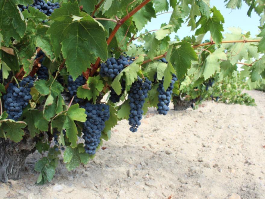Racimos de uva en viñedos de la Denominación de Origen Toro. | Foto cedida a L. O. Z.