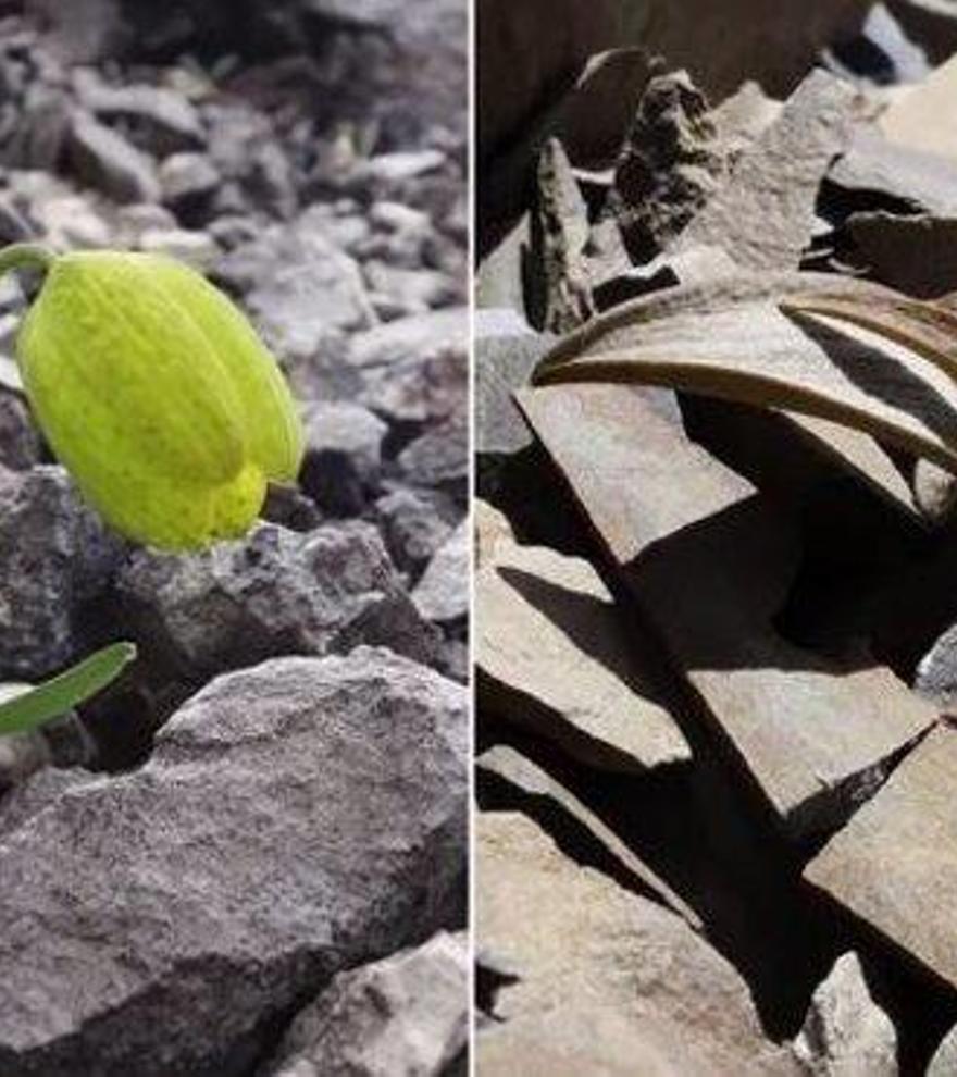 Una planta evoluciona para desaparecer ante los humanos