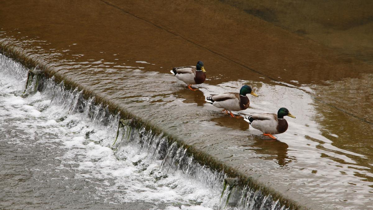 Patos sobre un azud del anillo navegable del Piles.