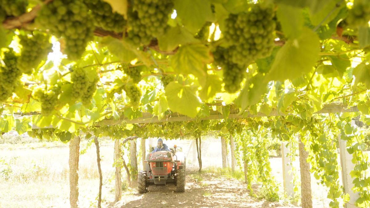 Un viticultor trabaja con un tractor.