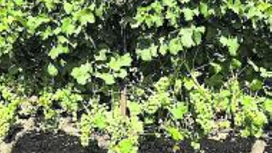 La DO Valencia espera una cosecha de uva de gran calidad