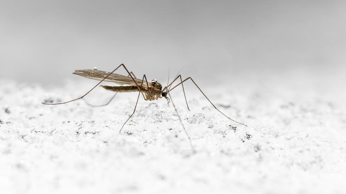 Remedios caseros y consejos para lograr evitar las picaduras de mosquitos.