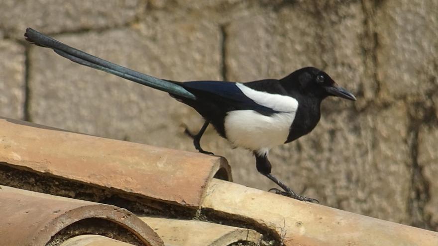 La garsa, ocell amb fama de lladregot