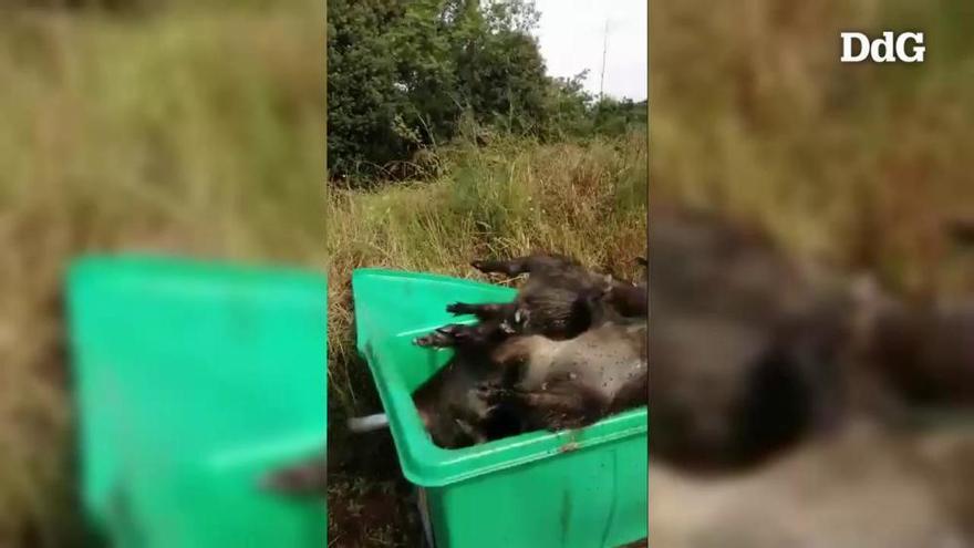 Caçadors de Calonge denuncien batudes nocturnes de senglars dels Agents Rurals