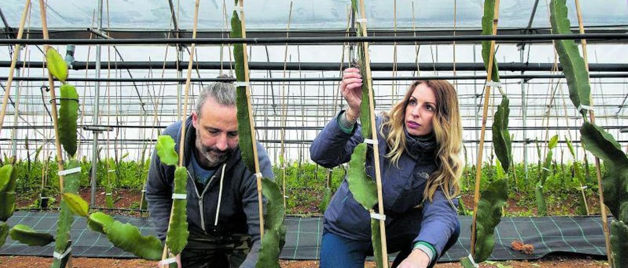 Salva y Mireia  Morera, el jueves, en el invernadero donde cultivan pitaya. | EMV
