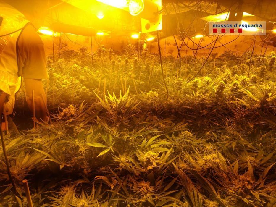 Els Mossos d'Esquadra desmantellant el cultiu de marihuana