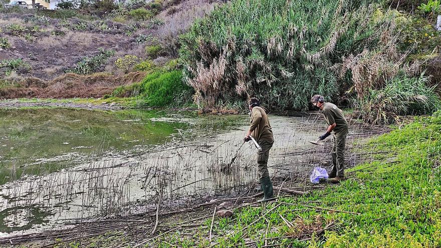 Localizan una veintena de aves muertas en la  charca El Manisero