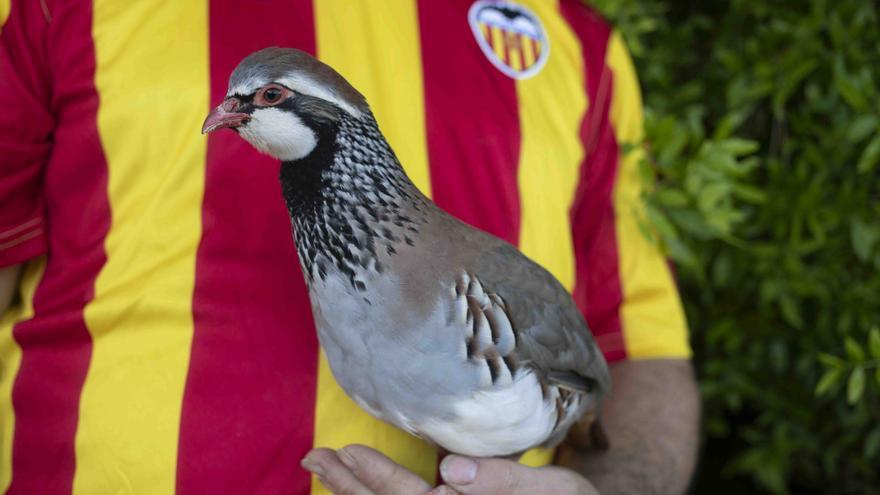 """""""Tako"""", la perdiz valenciana que pronostica las victorias de la selección"""