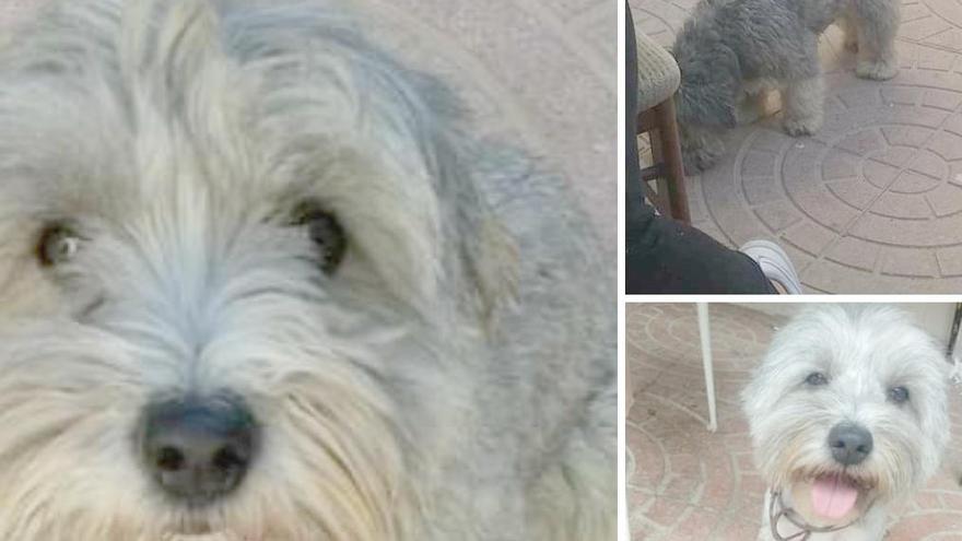 La Policía pide ayuda para localizar a un perro desaparecido en El Palmar