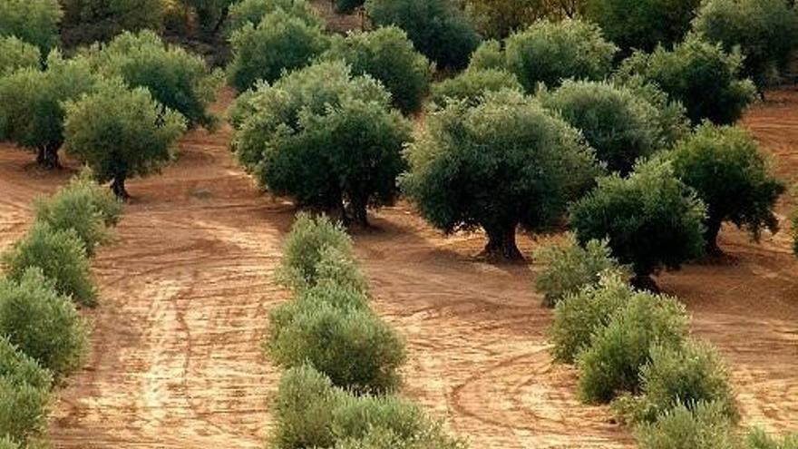 Dcoop colabora en un estudio sobre servicios climáticos para el olivar