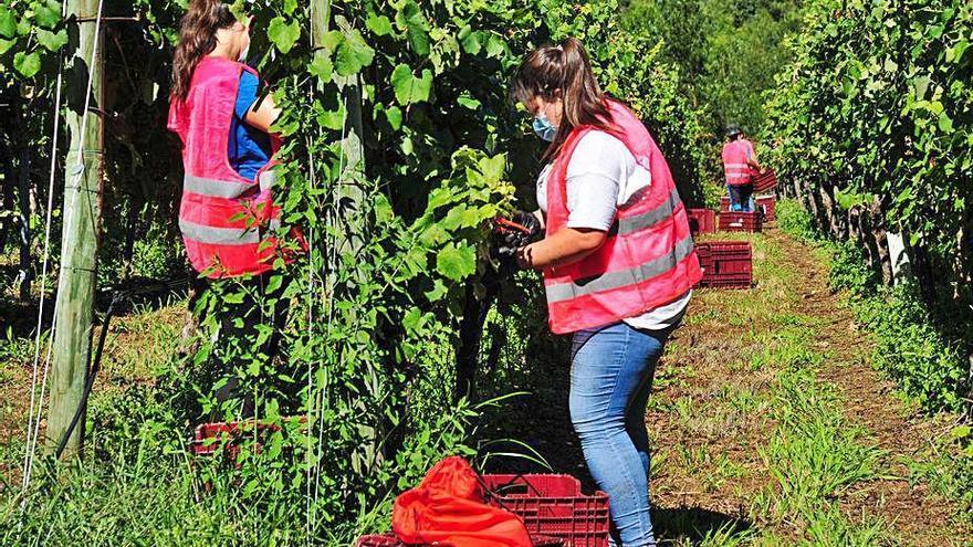 Rías Baixas arranca su vendimia con buen tiempo y buena calidad de las uvas