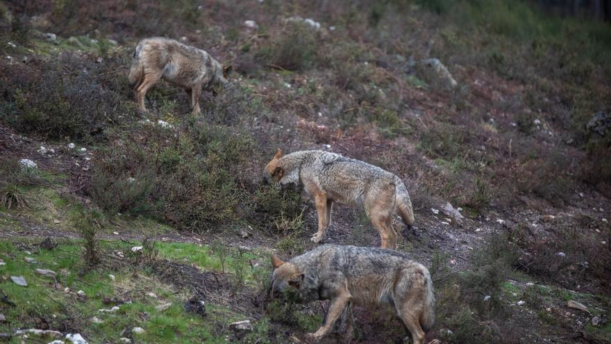 """Ecologistas consideran una """"provocación"""" que la Junta de Castilla y León subaste los últimos lobos de España"""