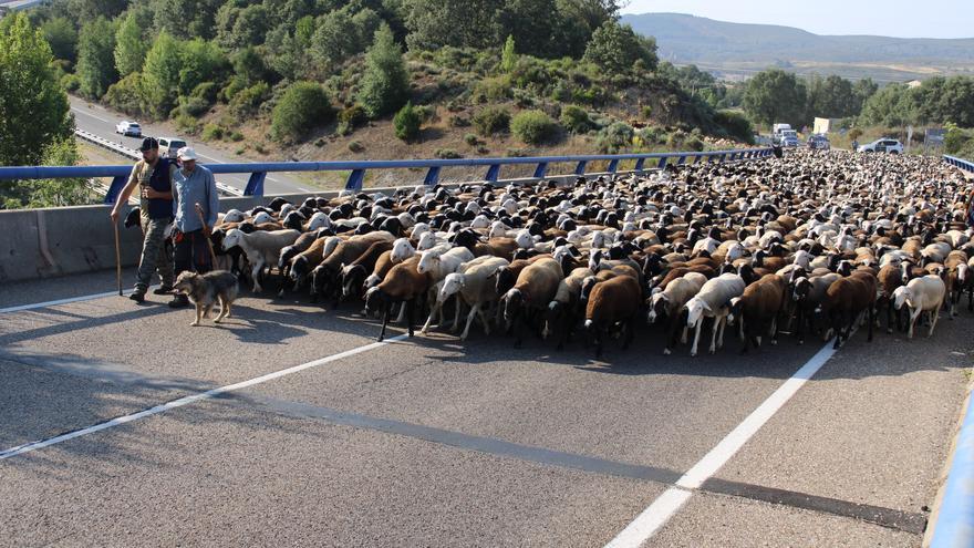 GALERÍA | 4.000 ovejas trashumantes cruzan Sanabria
