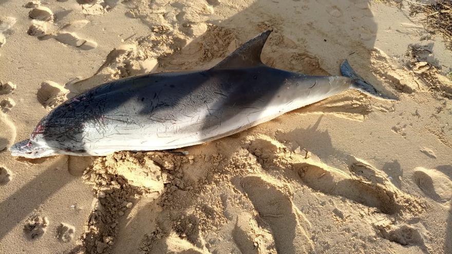 Varan dos delfines vivos en Baiona y Nigrán