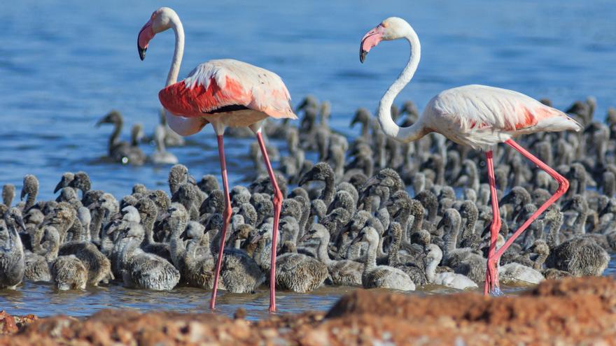 Imágenes de la histórica nidificación y cria de flamencos en la laguna rosa de Torrevieja este año