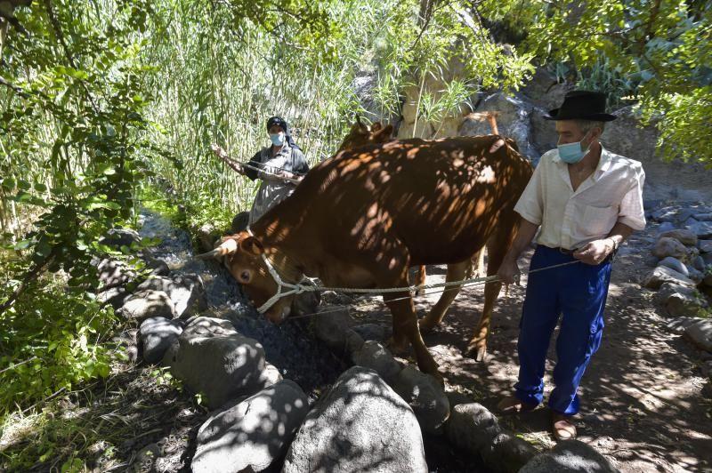 Inauguración del camino de las bestias en Ingenio