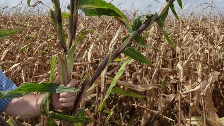 Detectan en Aragón semillas de una variedad de maíz transgénico no autorizada