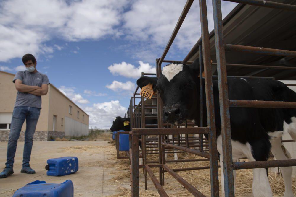 Joven ganadero de Torres del Carrizal