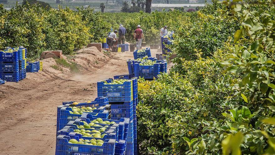 Agricultores alertan del riesgo de expansión de la plaga de los cítricos por la Vega Baja