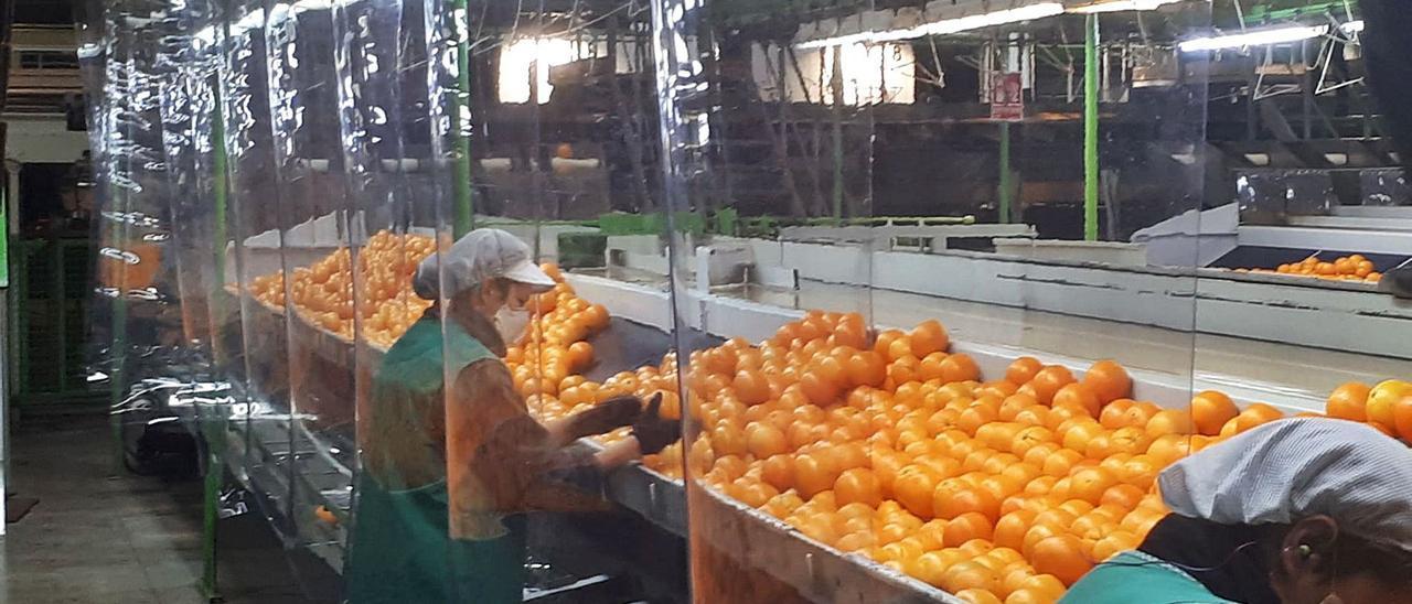 Línea de lavado de cítricos en una cooperativa hortofrutícola valenciana, en una imagen del pasado año 2020. | LEVANTE-EMV