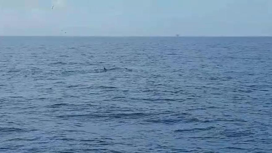 Un pesquero del Grao avista dos ballenas