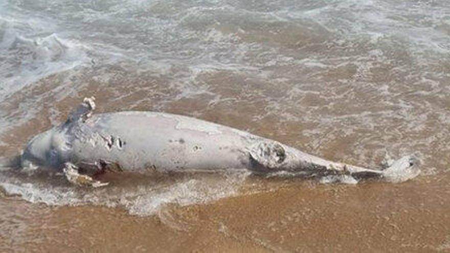 Troben un dofí mort a la platja de Blanes