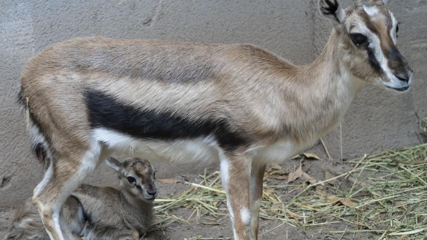 Nace en Bioparc Valencia una gacela de Thomson