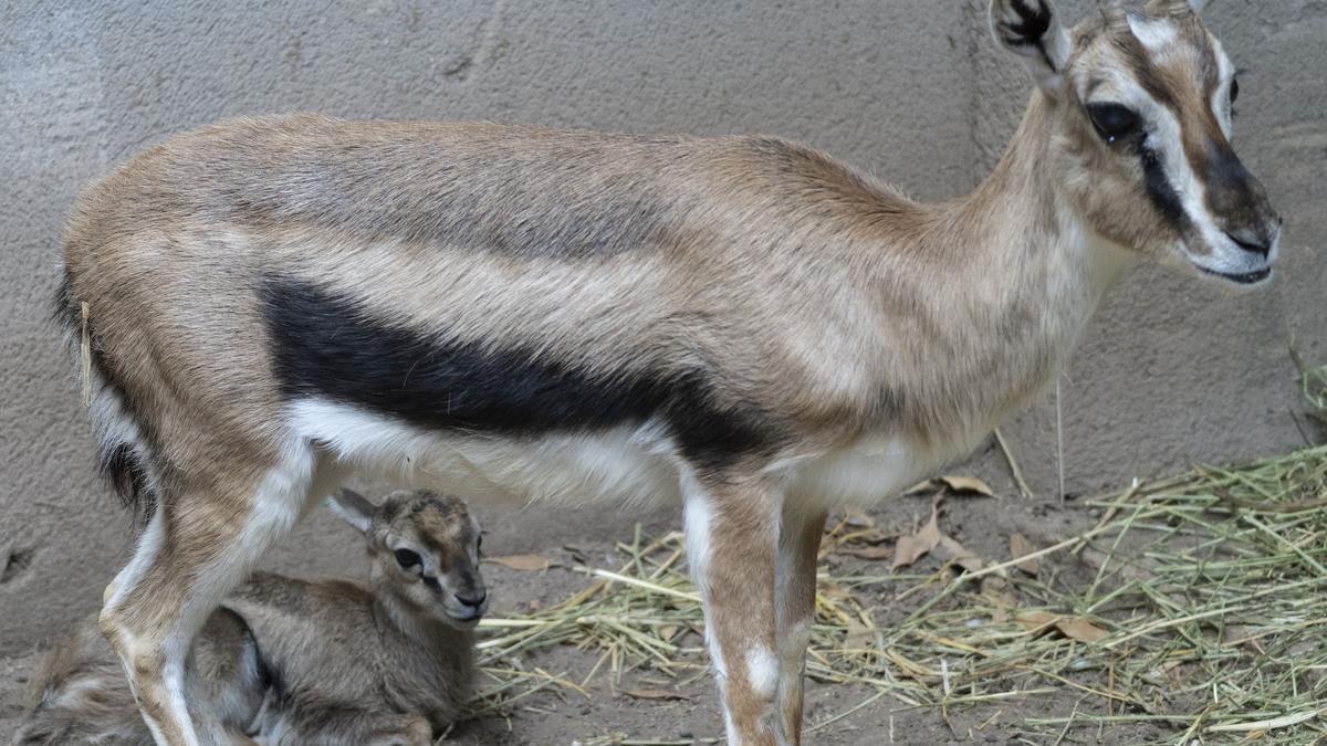 Nace en Bioparc Valencia una gacela de Thomson dentro del programa europeo para su conservación