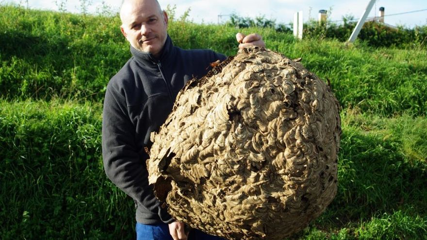 Un nido de avispa asiática de 20 kilos en Coirós