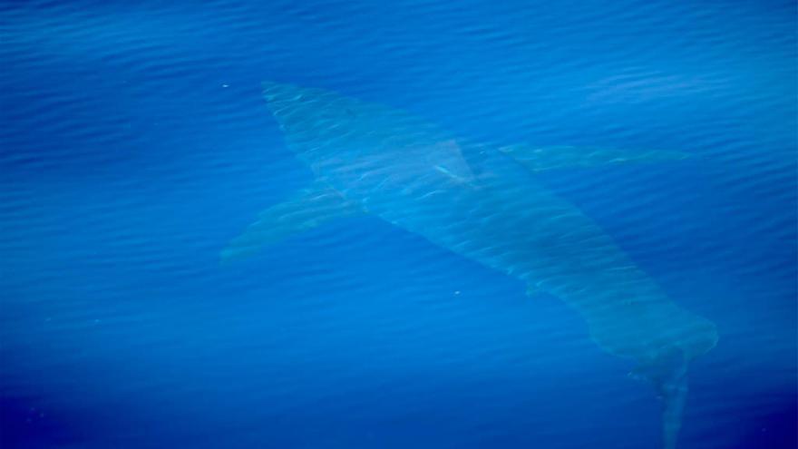 ¿Era realmente un tiburón blanco el escualo visto en el Mediterráneo?