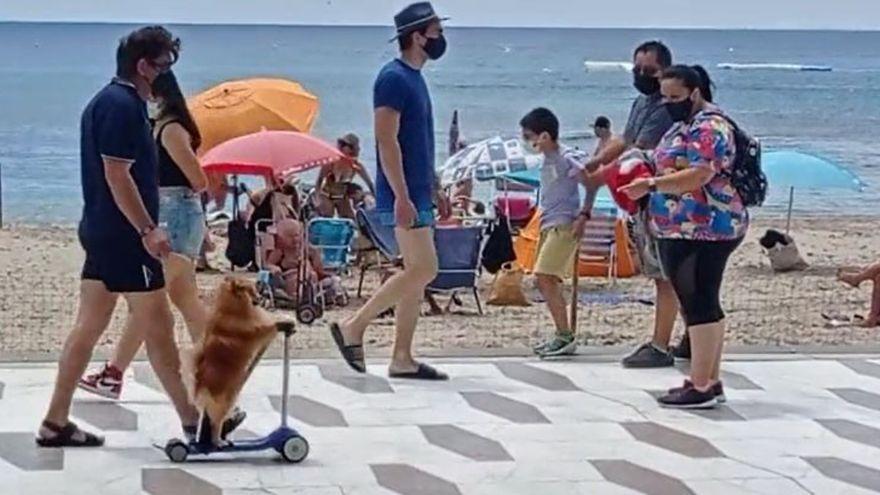 Un perro en patinete por el paseo de Levante, la última excentricidad en Benidorm