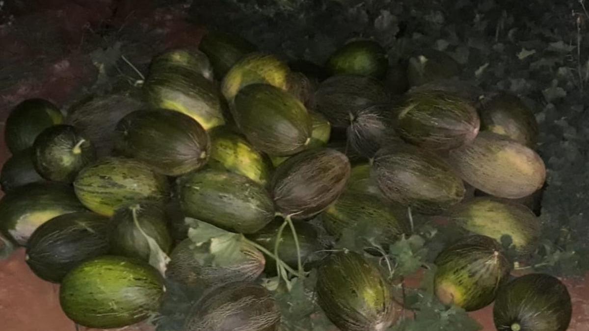 Varios cordobeses implicados en el robo de 3.000 melones en Sevilla